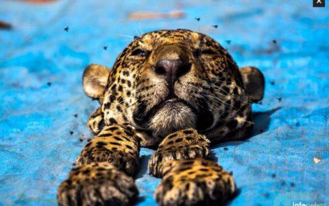 Un viaje al mercado negro del jaguar